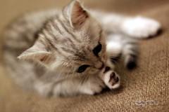 (sⓘndy°) Tags: cat kitty 台灣 貓 sindy
