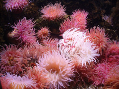 #0338 Sea anemones (Fjordblick) Tags: norway aquarium norge wasser norwegen saltwater seaanemone lesund atlanterhavsparken norsk alesund mreogromsdal magicofnature seeanemone salzwasser anmonedemer platinumphoto mygearandme mygearandmepremium mygearandmebronze mygearandmesilver mygearandmegold mygearandmeplatinum mygearandmediamond ringexcellence dblringexcellence aboveandbeyondlevel4 aboveandbeyondlevel1 flickrstruereflection1 flickrstruereflection2 aboveandbeyondlevel2 aboveandbeyondlevel3 rememberthatmomentlevel1 frameitlevel1