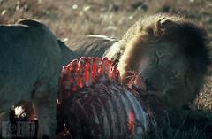 LionKill (Steven Ford / snowbasinbumps) Tags: kenya lion bigcats carnivore foodchain lionkill stevenford snowbasinbumps fordesignnet micatocom