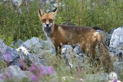 Pas trop farouche James-Bay territory (proulxphoto) Tags: shots fox outstanding naturesfinest animalkingdomelite rgmfc