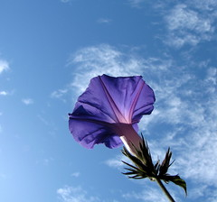 good morning glory (sazzy) Tags: blue sky flower morningglory goodmorning andlotsofit flowersandcolors happysundayeveryone greatautumnday