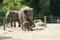 Elefantenmutter füttert ihr Junges