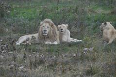 Lion et lionnes (Douce Folie) Tags: lion du puma parc tigre lynx flin panthre lopard gupard lionne flins tigredesibrie lionceau tigreblanc canadalynx panthredesneiges panthrenoire couguar lynxboral chatdudsert pardelleservalcaracalmanulmargaychat