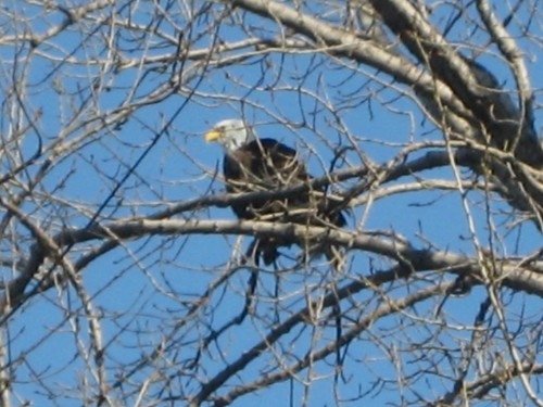 Bald Eagle in tree cropped