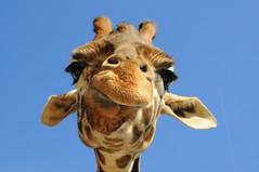 Giraffe's Goofy Grin!