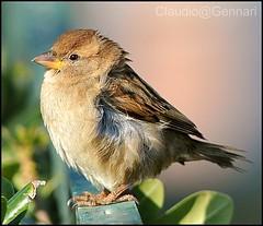 accrue bird ...