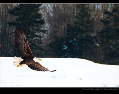 The Winter Flew By! (Dave the Haligonian) Tags: canada flying wings nikon novascotia eagle flight hunter prey nikkor annapolisvalley canning talons kentville d90 18200mmvr happyfeatheredfriday baldheadedeagle sheffieldmills vosplusbellesphotos fancyseagulls greatwhitenorthernpigeons thewinterflewby