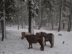 ponys in the park (Per Ola Wiberg ~ Powi) Tags: winter horses snow nature niceshot sweden explore pony harmony sverige february sn russ 2009 ponys februari hstar fotoclub awardwinner photosmiles eker ekebyhovsparken ekebyhov natureplus mywinners abigfave diamondheart flickrhearts crystalaward keepyoureyesopen crystalawards citrit diamondstars goldsealofquality natureiswonderful betterthangood theperfectphotographer flickridol photoexplore flickrestrellas crazyaboutnature natureselegantshots discoveryphotos explorewinnersoftheworld beautifulshot theloveshack damniwishidtakenthat panoramafotogrfico doubledragonawards thepictureperfectgroup mallmixstaraward saariysqualitypicturesgallery rockinhorsecorralfriends saariysqualitypictures lightstyles crazyaboutnatureaward championsphotography animalsimages animals fabulousplanet hellofriend