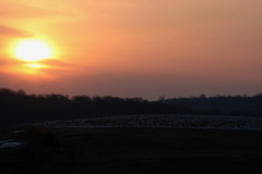 550_34 (lisa_praul) Tags: sunset middlecreek snowgeese