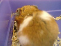 Pic00389S (untoldstory) Tags: hamsters