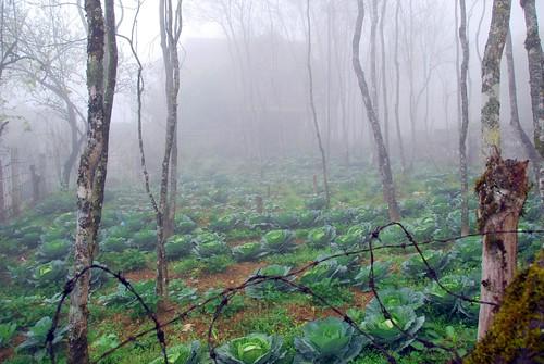 cabbage garden, sapa