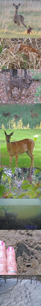 White-tailed Deer Photos by Ruth Johnson