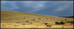 Les couleurs du Mjean (Bltrk) Tags: horse cheval equus causse caballus przewalskihorse mjean levillaret levage caussemjean chevaldeprzewalski hureslaparade semilibert