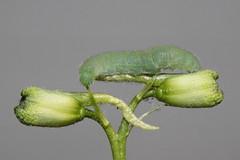 Green caterpillar exploring (kasia-aus) Tags: green nature animal insect australia lepidoptera caterpillar canberra 2009 act pieris hymenoptera cabbagewhite pieridae rapae