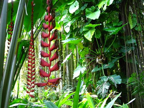 Heliconia longissima (Hawaii Tropical botanical Garden)