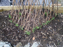 Sweet pea pyramid - stage 1