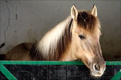 Sorraia (fgc) Tags: horses cavalo alpiara sorraia hbotw reservadosorraia