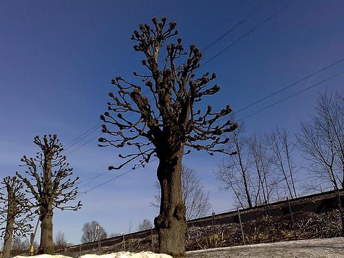Hamlat träd i vårsol