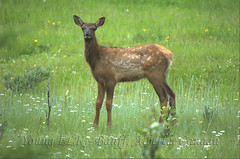 young elk (Cervus canadensis) (Neil Young Photography (nyphotos.ca)) Tags: canada wildlife fawn alberta banff elk canadensis cervus cervuscanadensis