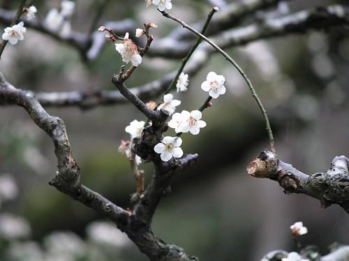 Premières Sakura !
