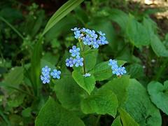 Nefelejcs (deakb) Tags: flower nature termszet virg