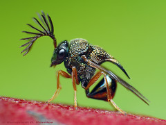 Eucharitid wasp