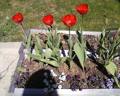 Red Tulips Opening (Arthaey) Tags: cameraphone plant flower tulip alyssum