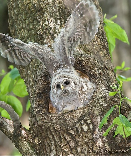 barred-owl-chick-16tall