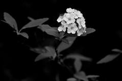 jardines de Aranjuez (oskar73) Tags: madrid bw españa flores planta primavera blancoynegro spain europa europe flor jardin contraste aranjuez oskar73
