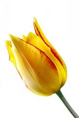 Tulip (Queen Tiye) Tags: flowers plant flower macro nature yellow flora tulips bulgaria tulip plain tulipa prinzesabg