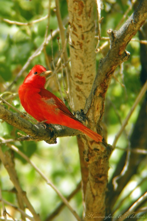 Summer Tanager 05091-3