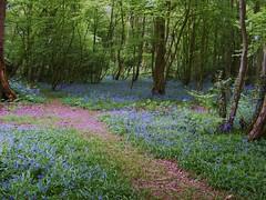 A carpet of Bluebells, Bedelands, Burgess Hill, West Sussex (Bev Goodwin) Tags: england bluebells woodland westsussex burgesshill bedelandsnaturereserve sonya37
