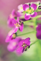 Alyssum  (60mm f/2.8) (AlexEdg) Tags: flower macro dof bokeh 60mm 2009 alyssum 60mmf28 nikond30 alexedg alledges