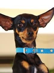 Toddy (pedro_lo) Tags: brazil dog pet animal brasil cachorro orelho toddy chiuaua predador orelhudo caador cachorro cachorrona zurebudo