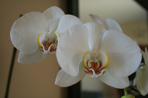 White Orchids: A Pair