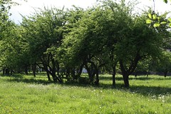 Vanade õunapuude kevadtants