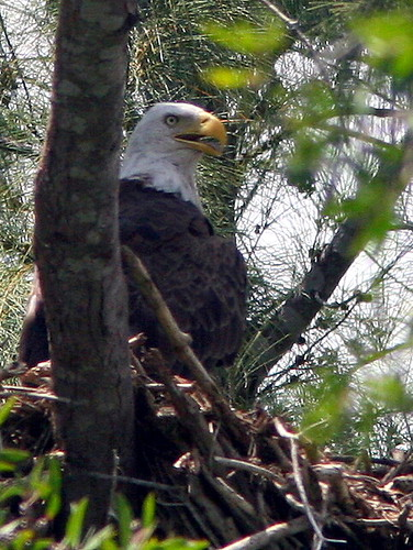 Adult At Nest 20090525