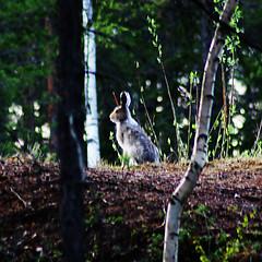 Hare (jockesyk) Tags: hare sweden sverige lule lepustimidus skogshare