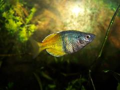 rainbowfish by boscosami, on Flickr