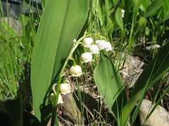 Lily of the Valley (Leo-set) Tags: summer flower finland europe lily valley   lempl   kulju lempaala