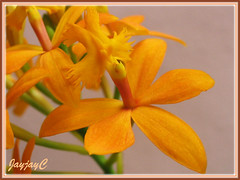 Close-up of an orange Epidendrum x obrienianum (O'brien's Star Orchid) in our garden, April 13 2009