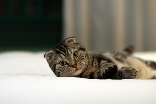 Scottish Fold (折耳猫)