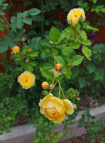 Graham Thomas Climbing Rose