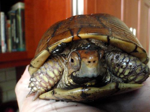 Turtle Schnoz