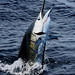 tsl_sailfish_012