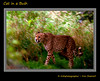 Cat in a Bush (Irishphotographer) Tags: nature grass bush wildlife bigcat cheetah predator stalking prowl kinkade beautifulireland imagesofireland kimshatwell ©irishphotographer catinabush breathtakingphotosofnature beautifulirelandcalander wwwdoublevisionimageswebscom