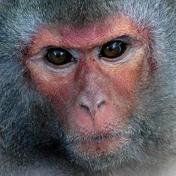 rhesus-monkey-oskarnthumbnail