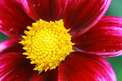 DAHLIA (PHOTOPHOB) Tags: dahlia flowers autumn red summer plants plant flores flower color macro rot nature fleur beautiful beauty fleurs germany garden petals spring colorful flickr estate autum stuttgart blossom sommer herbst natur flor pflanze pflanzen blumen zomer verano bloom blomma dalie t blume fiore blomst asteraceae dahlias dalia frhling yaz bloem floro kwiat killesberg dahlie dahlien kvt blomman blomsten lestate dalio flowersarebeautiful photophob