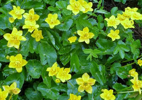Marsh Marigold, Orkney