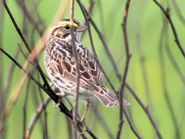 Savannah Sparrow 20110512